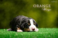Orange Wings A_кобель серый ошейник_2 недели