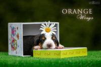 Orange Wings A_сука оранжевый ошейник_2 недели