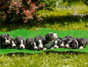 Orange wings, энтлебухер зенненхунд щенки, энтлебухер щенки, энтлебухер купить щенка, эентлебухер, энтлебухер зенненхунд, питомник энтлебухер зенненхундов